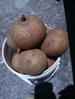 Mammi fruit
